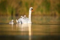 Cisne muda & x28; Olor& x29 do Cygnus; Fotografia de Stock Royalty Free
