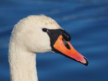 Cisne muda - olor do Cygnus Foto de Stock Royalty Free
