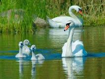 Cisne muda (olor do Cygnus) Foto de Stock
