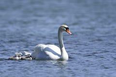 Cisne muda, olor do cygnus Imagens de Stock