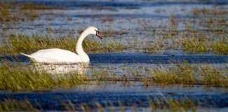 Cisne muda, olor do Cygnus Foto de Stock Royalty Free
