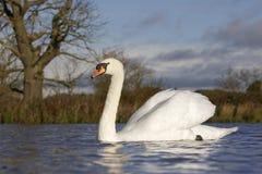 Cisne muda, olor do Cygnus fotografia de stock royalty free