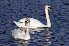 Cisne muda, olor do Cygnus Fotos de Stock