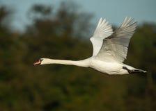 Cisne muda (olor do Cygnus) Fotos de Stock