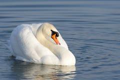 Cisne muda - olor do cygnus Fotografia de Stock