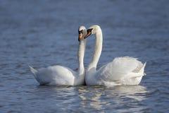 Cisne muda, olor do cygnus Imagem de Stock Royalty Free