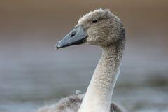 Cisne muda, olor do cygnus Fotografia de Stock