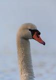 Cisne muda (olor do Cygnus) Imagem de Stock