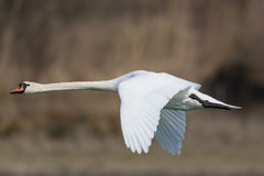 Cisne muda (olor do Cygnus) foto de stock royalty free