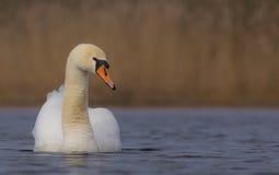 Cisne muda - olor do Cygnus Fotos de Stock