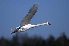 Cisne muda, olor do cygnus foto de stock