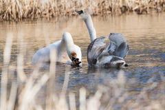 Cisne muda, cisne, olor do Cygnus - cópula fotografia de stock