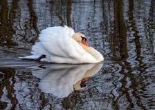 Cisne muda - olor do Cygnus na postura agressiva fotografia de stock
