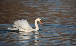 Cisne muda, olor do Cygnus, pássaro branco da cisne Foto de Stock Royalty Free