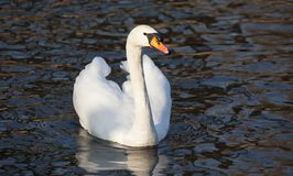 Cisne muda, olor do Cygnus, pássaro branco da cisne Imagem de Stock Royalty Free