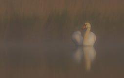 Cisne muda & x28; Olor do Cygnus & x29; Fotografia de Stock