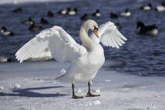 Cisne muda que está no gelo com as asas abertas imagens de stock royalty free