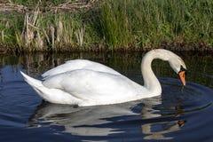 Cisne muda que nada com reflexão, plumagem branca, um bico alaranjado limitado com preto e um botão pronunciado sobre imagem de stock royalty free