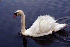 Cisne muda que nada o rio de Peconic fotos de stock