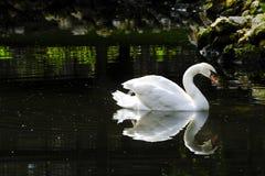 Cisne mudo Imagen de archivo libre de regalías