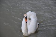 Cisne mudo adulto imagen de archivo