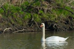 Cisne mudo blanco Fotografía de archivo libre de regalías
