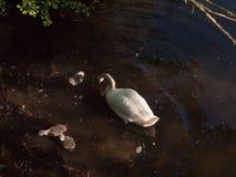 cisne mudo blanco con tres pollos del cisne grises abajo debajo de la superficie del agua Fotografía de archivo libre de regalías