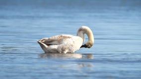 Cisne mudo, cisnes, olor del Cygnus almacen de metraje de vídeo