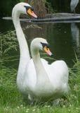 Cisne mudo con el pollo del cisne del ` s del año pasado Foto de archivo