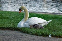 Cisne mudo con los pollos del cisne Imagen de archivo libre de regalías