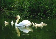 Cisne mudo con los polluelos Imagenes de archivo