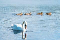 Cisne mudo elegante y 4 anadones Fotos de archivo