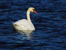 Cisne mudo en el mar Báltico Imagen de archivo