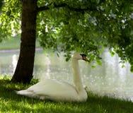 Cisne mudo en hierba foto de archivo