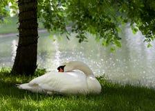 Cisne mudo en hierba fotografía de archivo