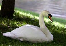 Cisne mudo en hierba debajo de la sombra del árbol fotografía de archivo