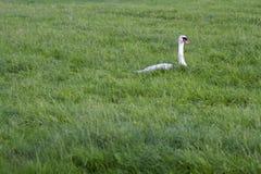 Cisne mudo en la hierba Imagen de archivo