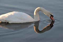 Cisne mudo en la luz del sol de la mañana fotos de archivo