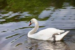 Cisne mudo en superficie del agua fotos de archivo libres de regalías