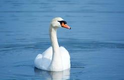 Cisne mudo - Front View Pose Imagen de archivo libre de regalías