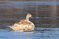 Cisne mudo juvenil en superficie helada Fotografía de archivo