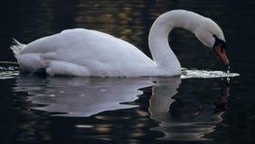 Cisne mudo mirroning en el agua Imagenes de archivo