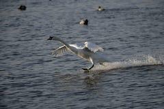 Cisne mudo, olor del Cygnus Fotos de archivo libres de regalías