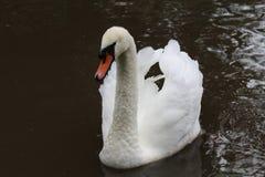 Cisne mudo, olor del cygnus Imágenes de archivo libres de regalías