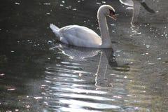 Cisne mudo, olor del cygnus Fotografía de archivo