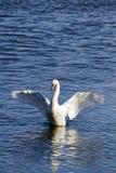 Cisne mudo (olor del Cygnus) con las alas outstretched Fotos de archivo libres de regalías