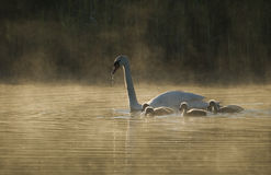 Cisne mudo (olor del Cygnus) en el amanecer Fotografía de archivo