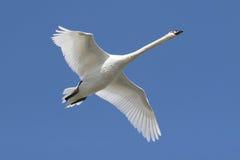 Cisne mudo (olor del Cygnus) en vuelo Foto de archivo