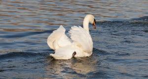 Cisne mudo, olor del Cygnus, pájaro blanco del cisne Foto de archivo libre de regalías