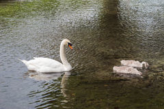 Cisne mudo precedido por dos pollos del cisne Fotos de archivo libres de regalías